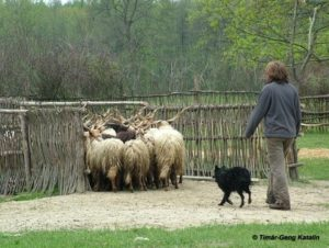 Mudis beim Hüten in Ungarn